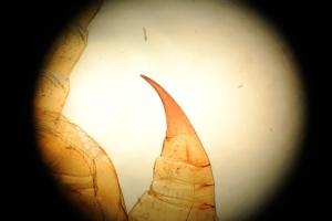 A centipedes forcipule.