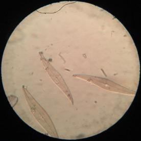 Model R Plerosigma angulatum 300x